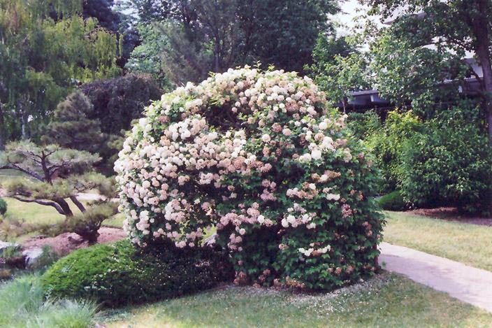 Snowball Viburnum (Viburnum Opulus U0027Roseumu0027) At Gardeneru0027s Supply Company