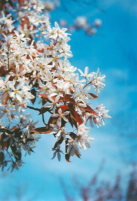 Shed screening, Amelanchier 'robin hill' | Trees to plant, Tree ... | 698x476