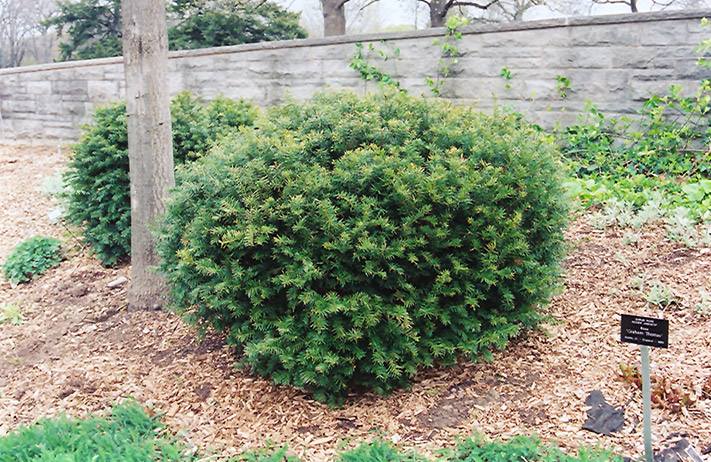 Brown 39 s yew taxus x media 39 brownii 39 in burlington for Garden supply company burlington vt