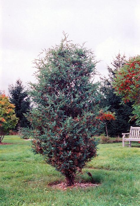 High Quality Chinese Juniper (Juniperus Chinensis) At Gardeneru0027s Supply Company