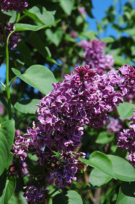 Sensation Lilac (Syringa Vulgaris U0027Sensationu0027) At Gardeneru0027s Supply Company