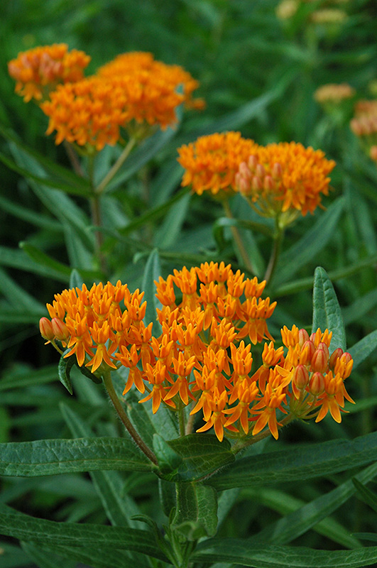 Butterfly Weed (Asclepias Tuberosa) At Gardeneru0027s Supply Company