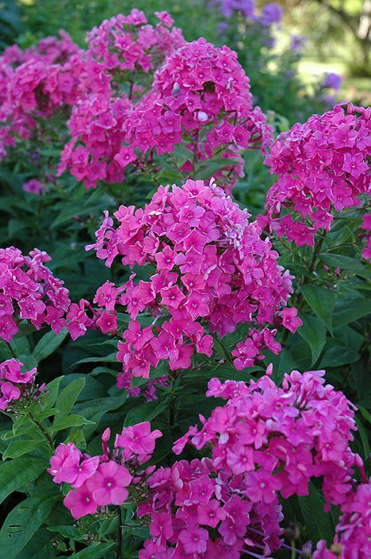 Attirant Eva Cullum Garden Phlox (Phlox Paniculata U0027Eva Cullumu0027) At Gardeneru0027s Supply  Company