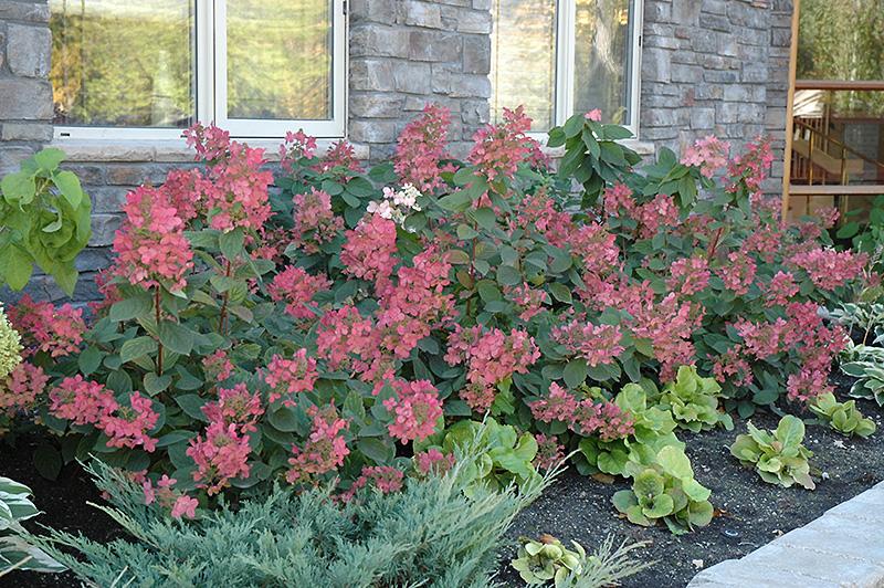 Pink Diamond Hydrangea (Hydrangea Paniculata U0027Pink Diamondu0027) At Gardeneru0027s  Supply Company