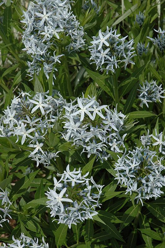 Blue star flower amsonia tabernaemontana in burlington for Gardeners supply burlington vt