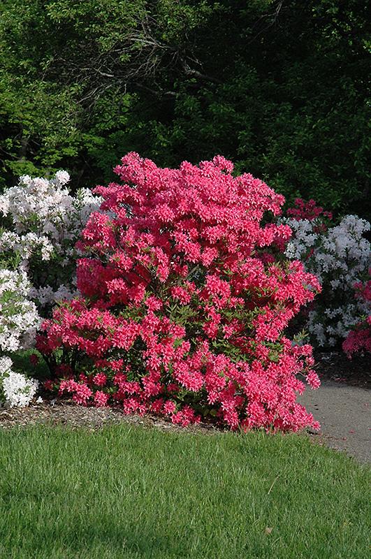 Rosy Lights Azalea (Rhododendron U0027Rosy Lightsu0027) At Gardeneru0027s Supply Company