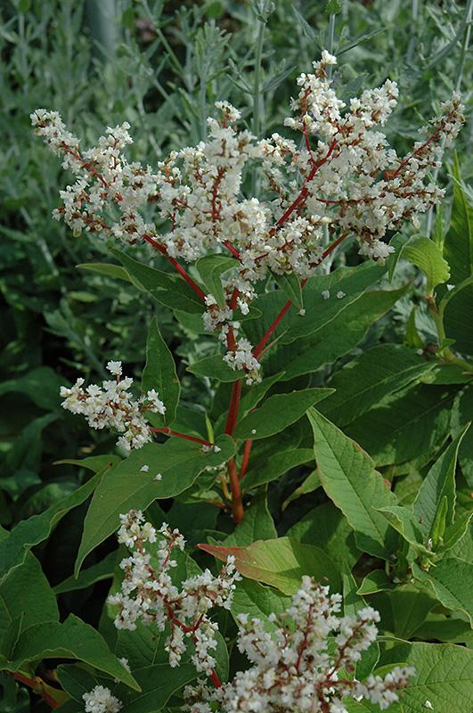 White Fleeceflower Persicaria Polymorpha In Burlington Williston Vermont Plattsburgh Vermont
