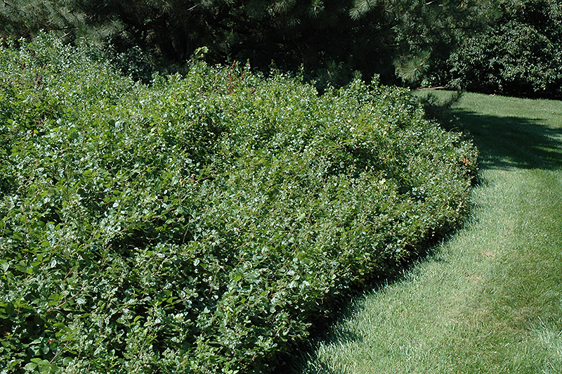 Gro Low Fragrant Sumac (Rhus Aromatica U0027Gro Lowu0027) At Gardeneru0027s