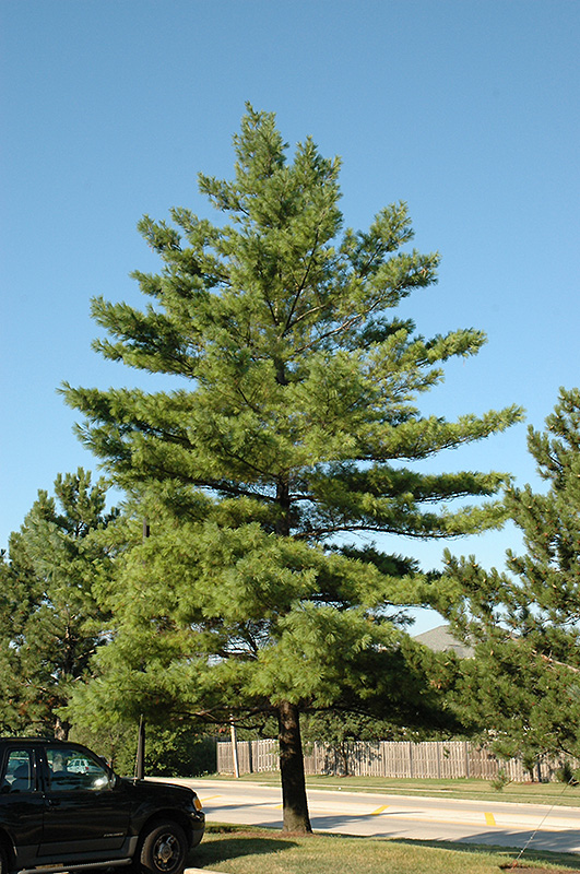 White Pine Pinus Strobus In Burlington Williston Vermont