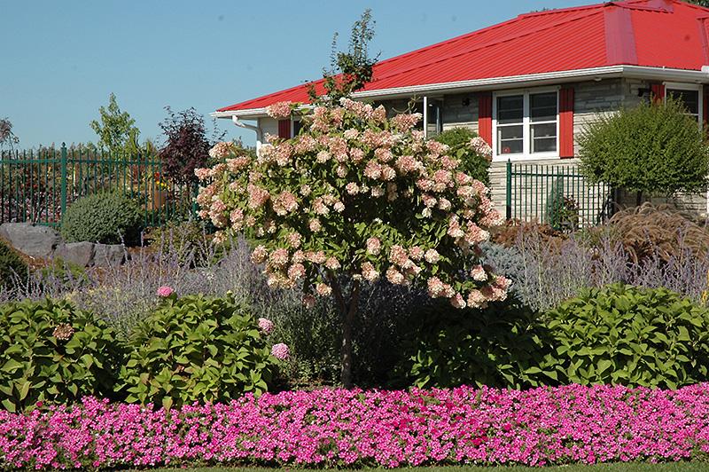 Tree Form Pee Gee Hydrangea (Hydrangea Paniculata U0027Grandiflora (tree  Form)u0027) In Burlington Williston Vermont Plattsburgh Vermont VT At  Gardeneru0027s Supply ...