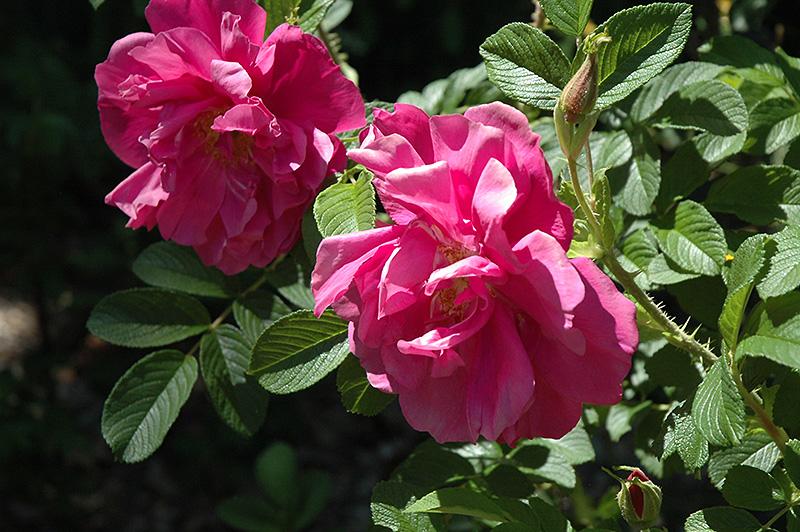 Rugosa Rose (Rosa Rugosa) At Gardeneru0027s Supply Company