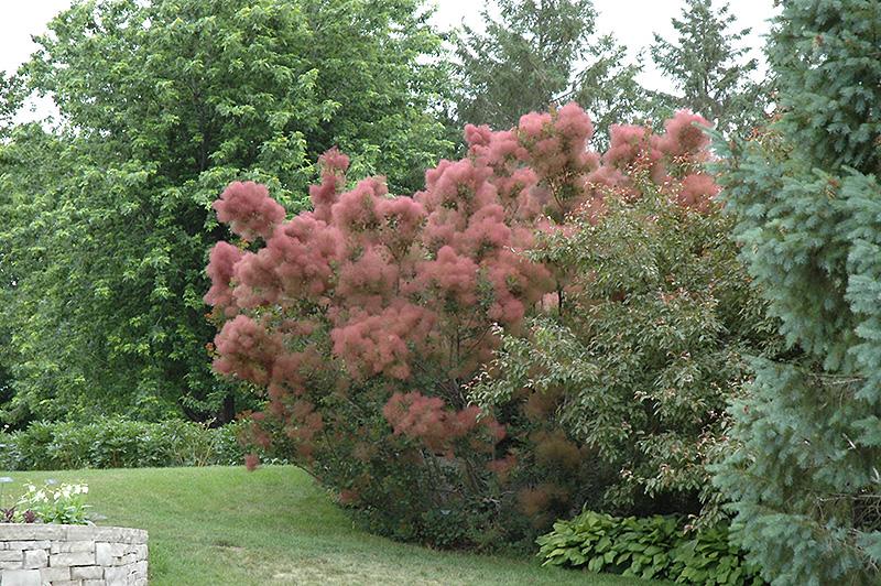 Royal purple smokebush cotinus coggygria 39 royal purple for Gardeners supply burlington