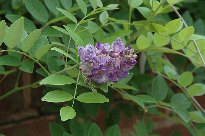 Amethyst Falls Wisteria (Wisteria Frutescens U0027Amethyst Fallsu0027) At Gardeneru0027s  Supply Company