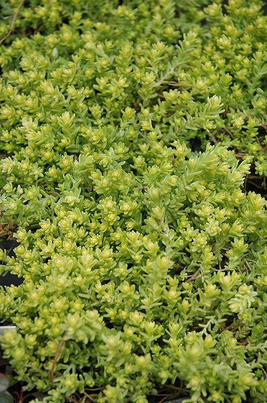 Golden Moss Stonecrop Sedum Acre 39 Aureum 39 In Burlington Williston Vermont Plattsburgh Vermont