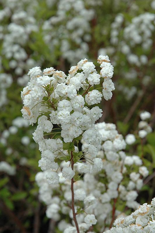 Bridalwreath Spirea (Spiraea Prunifolia) At Gardeneru0027s Supply Company