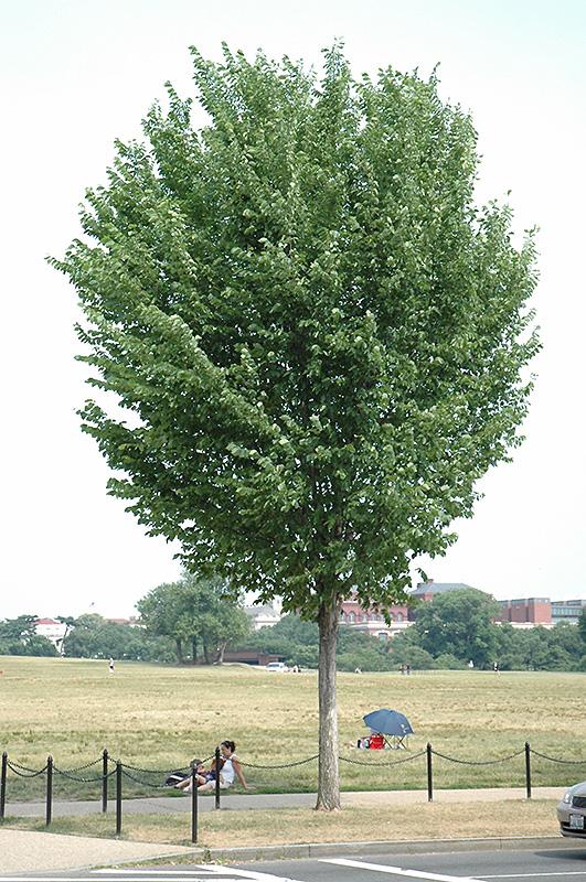 princeton elm ulmus americana princeton in burlington williston