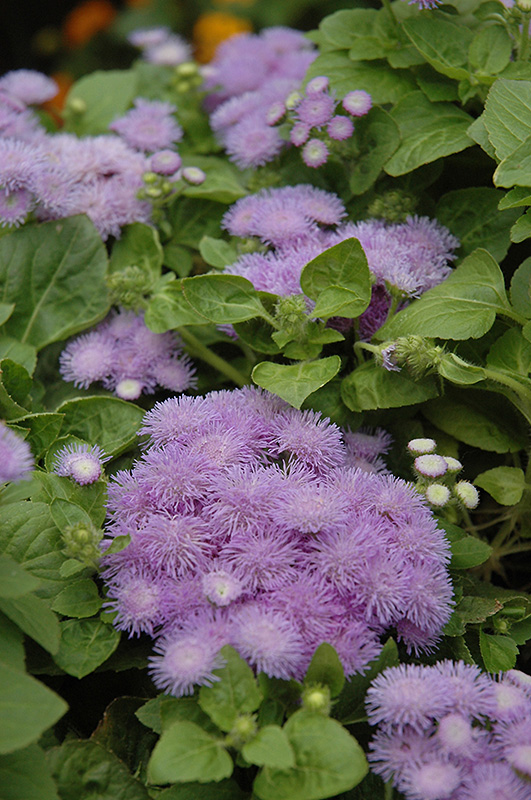 Hawaii Blue Flossflower (Ageratum 'Hawaii Blue') at Gardener's Supply Company