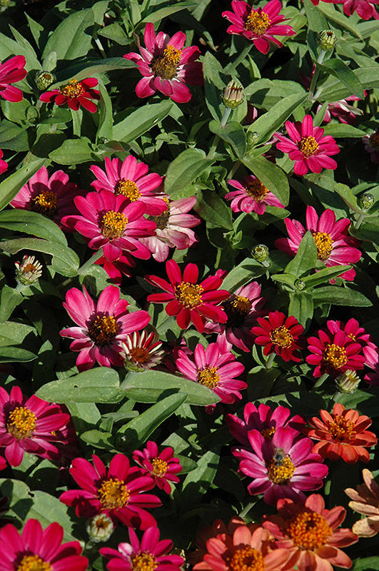 Profusion Cherry Zinnia (Zinnia 'Profusion Cherry') at Gardener's Supply Company