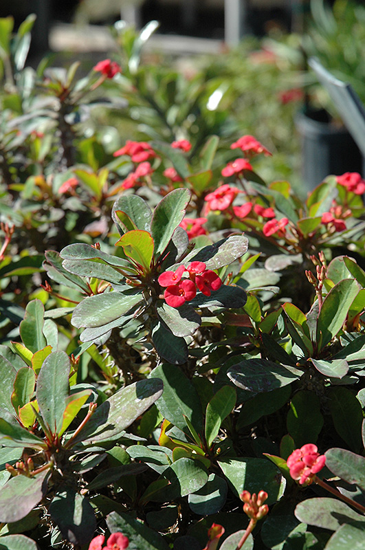 Crown Of Thorns (Euphorbia milii) at Gardener's Supply Company