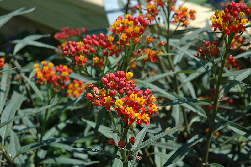 Silky Deep Red Milkweed (Asclepias curassavica 'Silky Deep Red') at Gardener's Supply Company