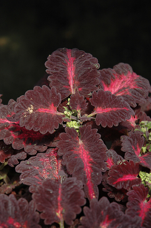 Black Dragon Coleus (Solenostemon scutellarioides 'Black Dragon') at Gardener's Supply Company