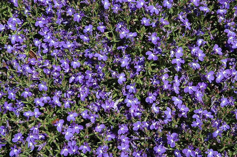 Magadi Compact Blue Lobelia (Lobelia erinus 'Magadi Compact Blue') at Gardener's Supply Company