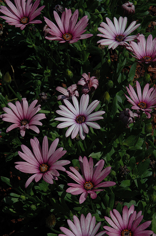 Crescendo Light Purple African Daisy (Osteospermum 'Crescendo Light Purple') at Gardener's Supply Company