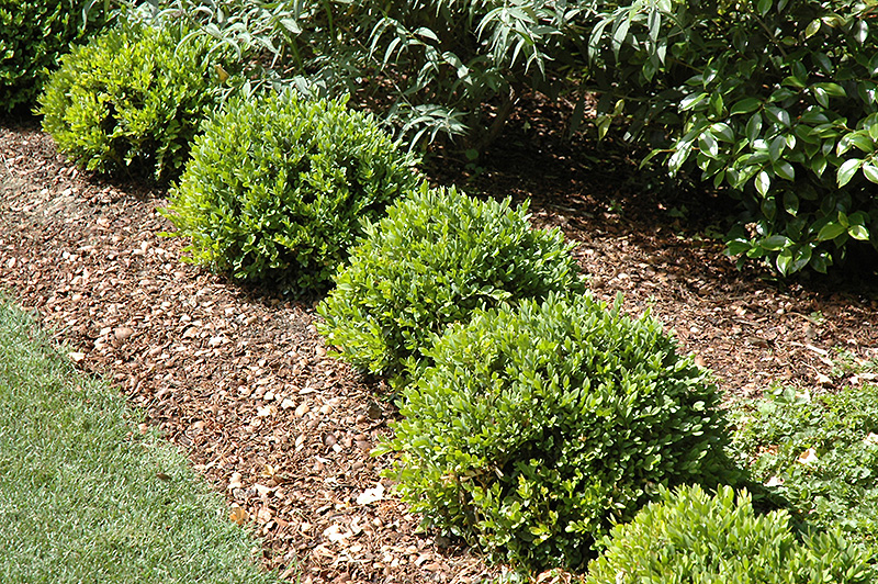 Perfect Green Velvet Boxwood (Buxus U0027Green Velvetu0027) At Gardeneru0027s Supply Company