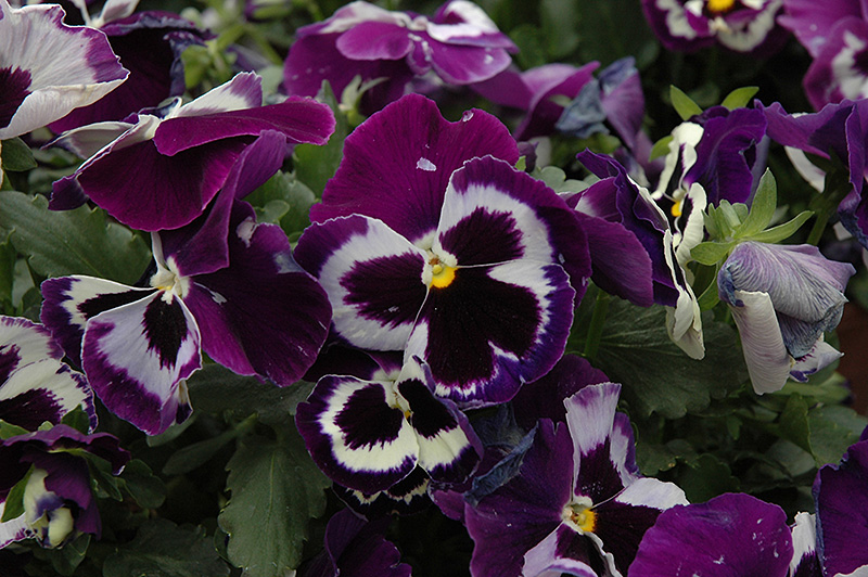 Delta Violet With Face Pansy (Viola x wittrockiana 'Delta Violet With Face') at Gardener's Supply Company
