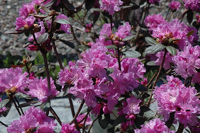 P.J.M. Elite Rhododendron (Rhododendron U0027P.J.M. Eliteu0027) At Gardeneru0027s Supply  Company