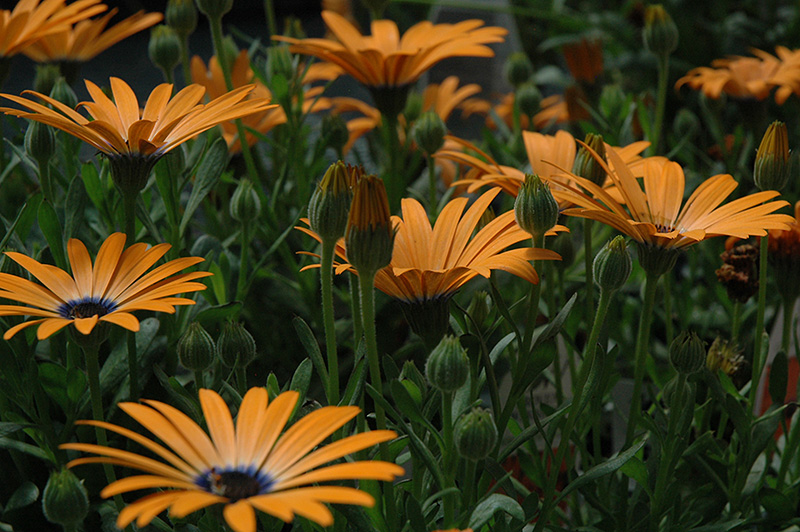 Orange Symphony African Daisy (Osteospermum 'Orange Symphony') at Gardener's Supply Company