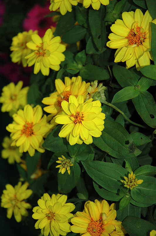 Profusion Double Yellow Zinnia (Zinnia 'Profusion Double Yellow') at Gardener's Supply Company