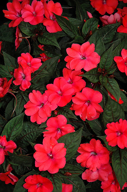 SunPatiens Compact Deep Rose New Guinea Impatiens (Impatiens 'SunPatiens Compact Deep Rose') at Gardener's Supply Company