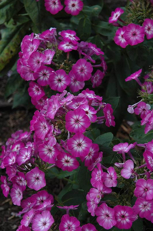 Purple Eye Flame Garden Phlox Phlox Paniculata 39 Barthirtythree 39 In Burlington Williston