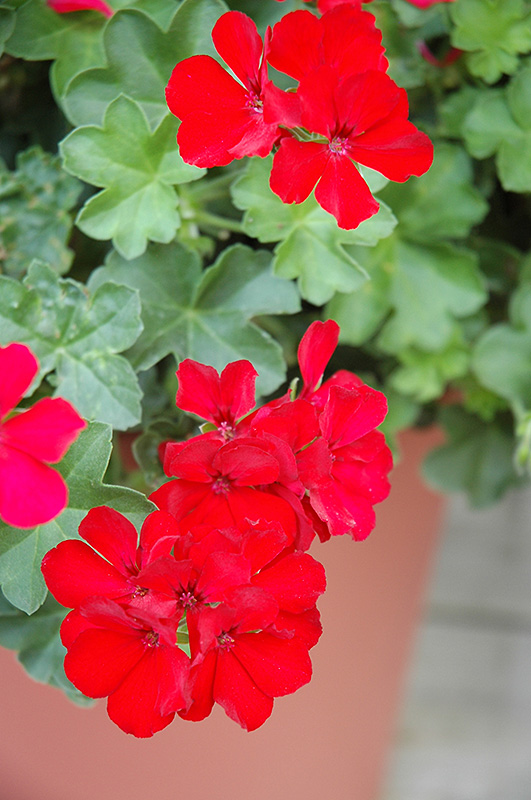Caliente Deep Red Geranium (Pelargonium 'Caliente Deep Red') at Gardener's Supply Company