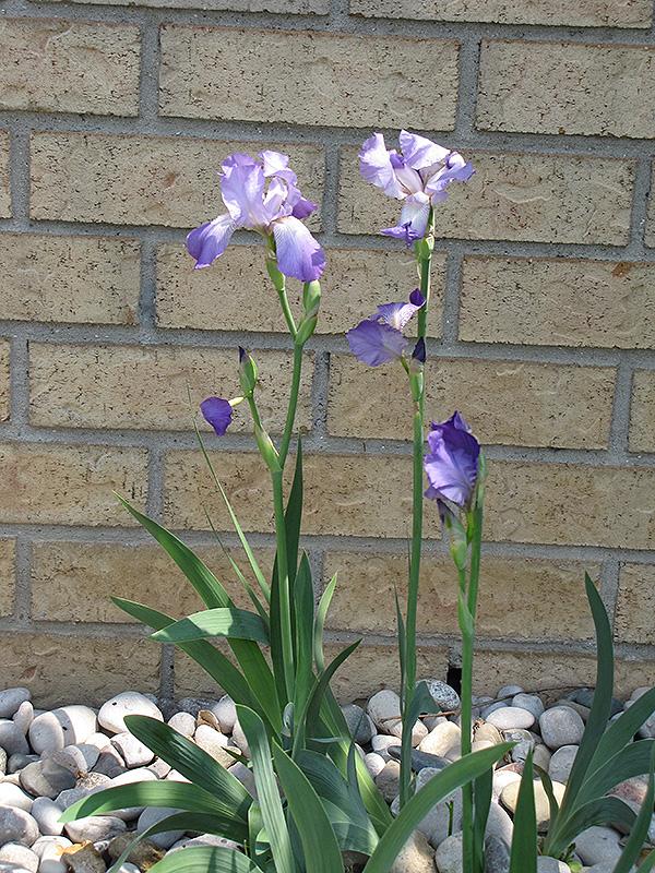Clarence Iris (Iris U0027Clarenceu0027) At Gardeneru0027s Supply Company