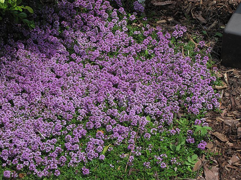 Purple Carpet Creeping Thyme Thymus Praecox Purple