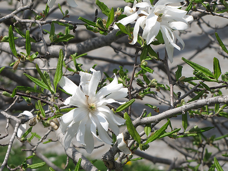 Royal star magnolia magnolia stellata 39 royal star 39 in for Gardeners supply burlington vt