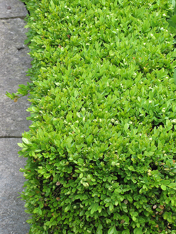 Green Velvet Boxwood (Buxus U0027Green Velvetu0027) At Gardeneru0027s Supply Company