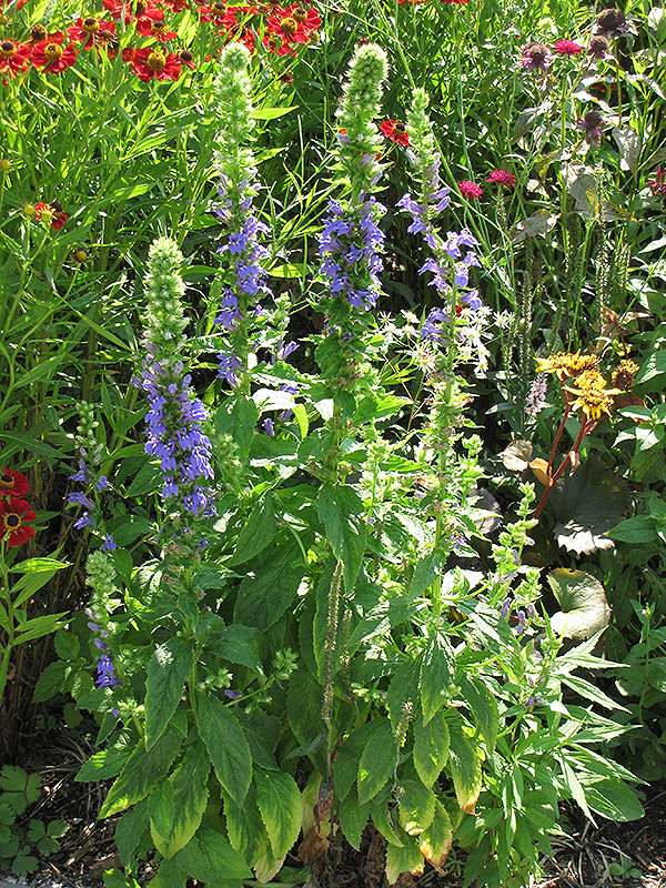 Blue Cardinal Flower (Lobelia siphilitica) at Gardener's Supply Company