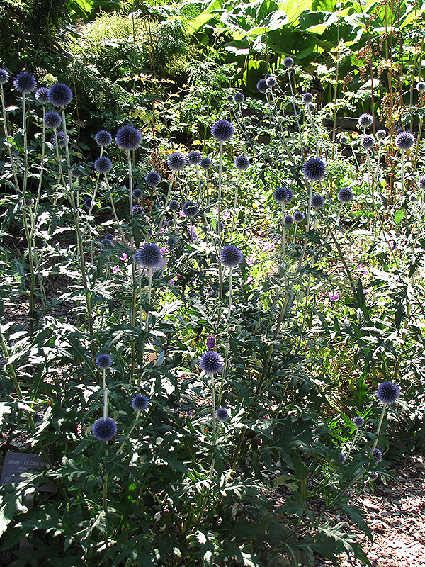 Veitch 39 s blue globe thistle echinops ritro 39 veitch 39 s blue for Gardeners supply burlington vt