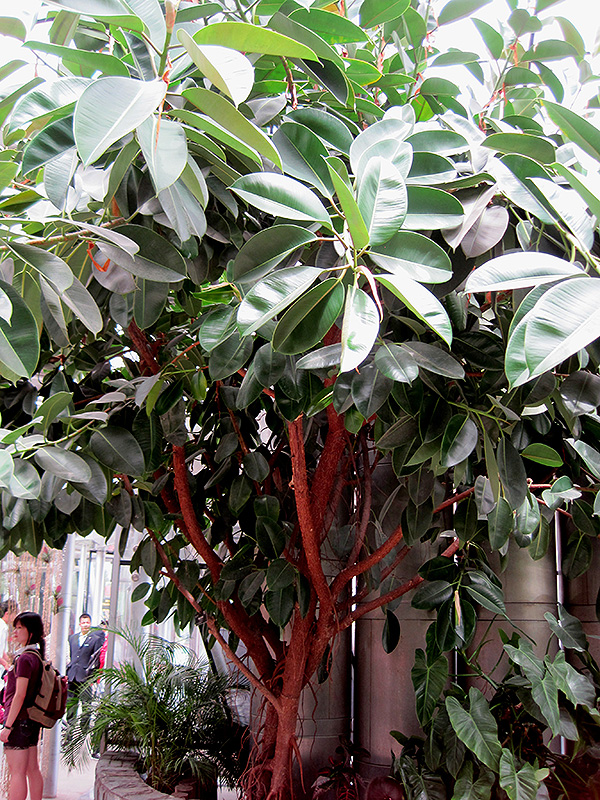Rubber Tree (Ficus elastica) at Gardener's Supply Company