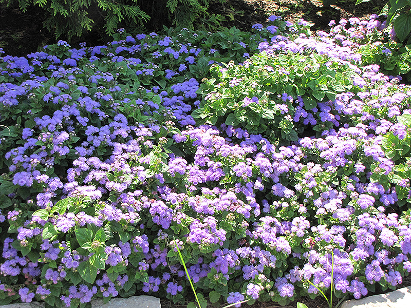 Blue Horizon Flossflower (Ageratum 'Blue Horizon') at Gardener's Supply Company