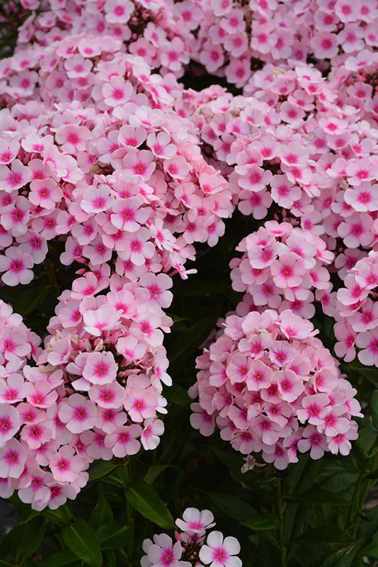 Beau Bright Eyes Garden Phlox (Phlox Paniculata U0027Bright Eyesu0027) At Gardeneru0027s  Supply Company