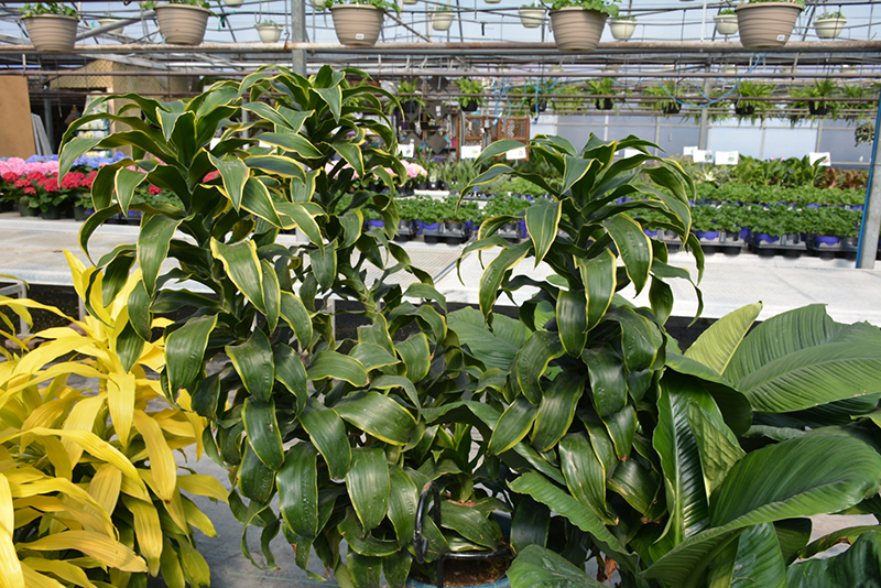 Dorado Dracaena (Dracaena fragrans 'Dorado') at Gardener's Supply Company