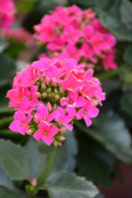 Hot Pink Kalanchoe (Kalanchoe blossfeldiana 'Hot Pink') at Gardener's Supply Company