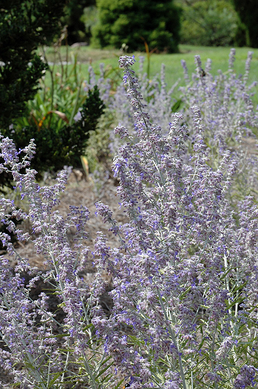 Lacey blue russian sage perovskia atriplicifolia 39 lacey for Gardeners supply burlington vt