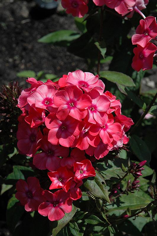 Glamour Girl Garden Phlox (Phlox Paniculata U0027Glamour Girlu0027) At Gardeneru0027s  Supply Company