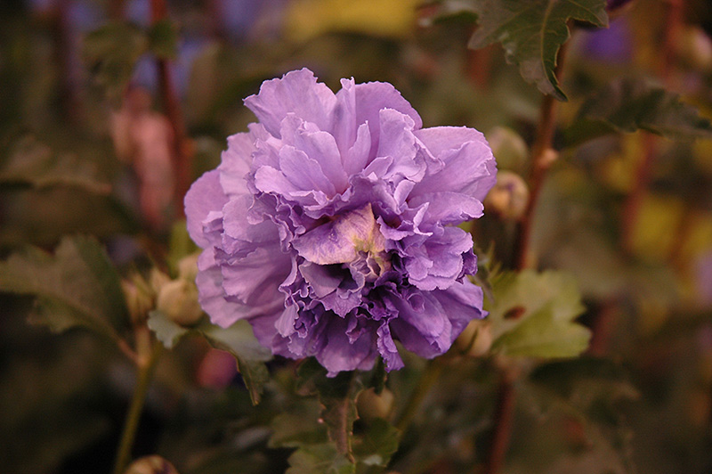 Blueberry Smoothie Rose Of Sharon Hibiscus Syriacus Ds01bs In