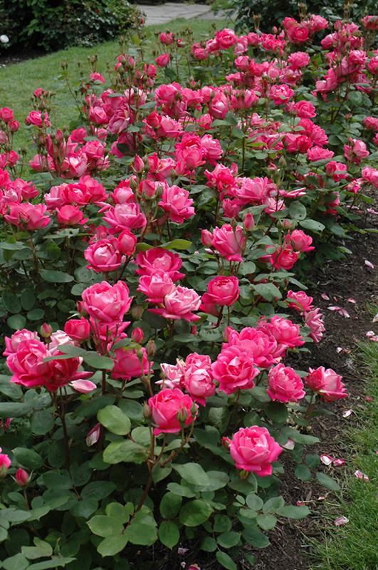 Double Knock Out® Rose (Rosa U0027Radtkou0027) At Gardeneru0027s Supply Company